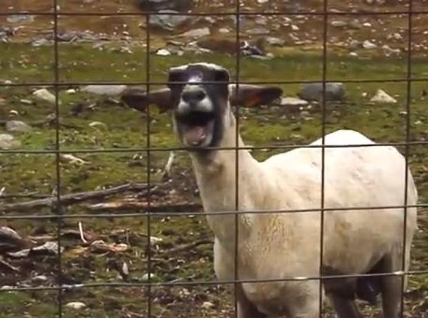 goat version