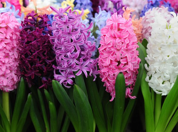 Hyacinth at Chelsea Flower Show