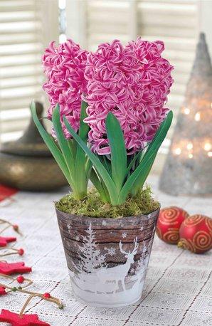 CFM gardening free hyacinth